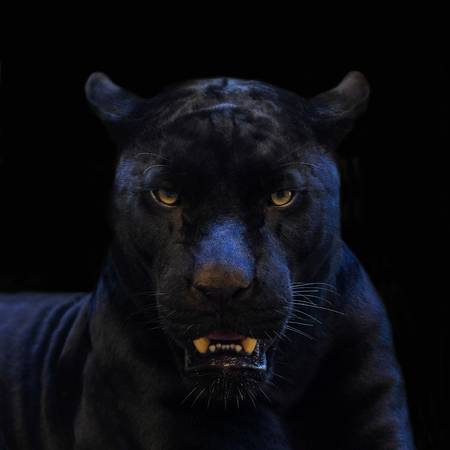 Black Panther Shamanic Symbolism Lucidity For All